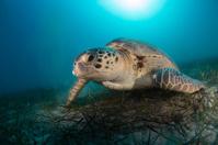 Sea turtle in the Mediterranean Sea