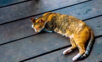 Thai cat in sleeping at wood floor,Thailand.