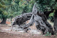Centenarian olive tree trunk in Puglia, Italy