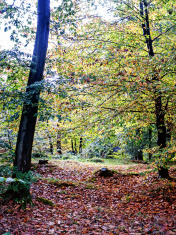 Autumnal woodland with carpet of fallen leaves