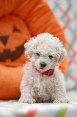Apricot maltipoo puppy