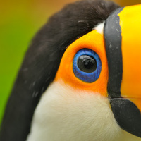 closeup of eye of toucan bird