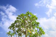 Cerbera tree