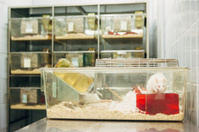 Medical Research: albino rats for animal experiments in plastic