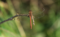 common darter dragonfly Sympetrum striolatum