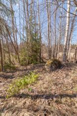 Spring wood. Anemone