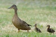 Mallard or wild duck (Anas platyrhynchos)