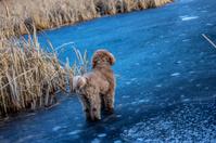 Poodle on ice