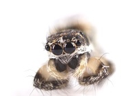 Tiny zebra jumping spider