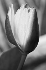 Black and White lotus bud flower