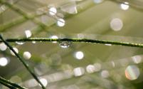 Pine Needles and dew