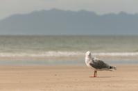 red-billed gull standing on sandy beach