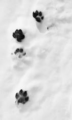 dog paw prints in snow
