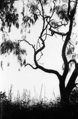 Eucalyptus silhouette, monochrome