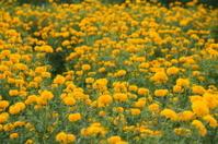 Marigold Field in Bali, Indonesia