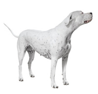 Standing dogo Argentino