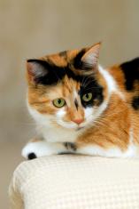 Resting Calico Cat