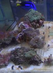 Marine aquarium / saltwater reef tank, living coral frags for sa