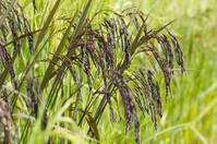 Black rice field