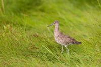 Willet in Grassy Salt Marsh