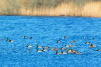 Flock of mallards ducks and little grebes