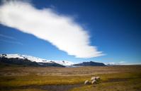 Icelandic Sheep in Meadow