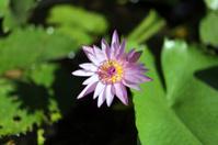 Purple lotus blossom.