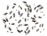 sixty seven black crickets