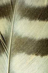 Macro Owl Feather
