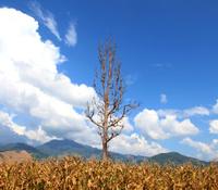 High latitude dead tree under blue sky