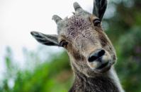 Nilgiri Tahr - Wild Goat - Ibex