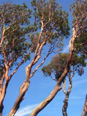 Slanted Trees
