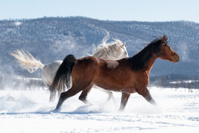 Horses Running in Snow and Sun At Play