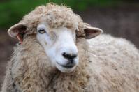 Romney sheep, Ovis aries