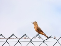 Cliff Flycatcher On Chain Link Fence Searching