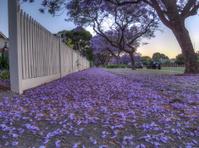 Dusk and Jacaranda blossom