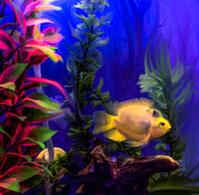 Fish Parrot Blue