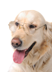 Retriever with glasses