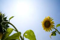 Sunflowers in midsummer