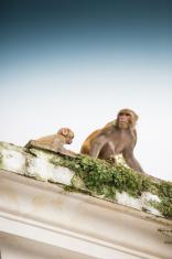 Bandar monkey and child