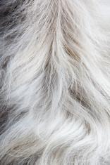 Hair of Thai dog, Shih Tzu spicies