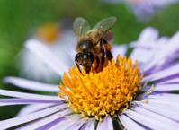 bee and a daisy