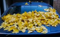 Autumn leaves over blue car.