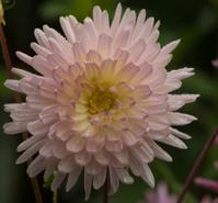 Dahlia in bloom in a garden