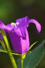 purple bluebell