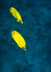 Bluecheek butterflyfish