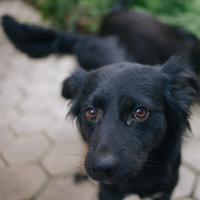 Close up of a black dog looking at the camera.
