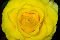 rose bud isolated