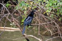 Anhinga in Costa Rica