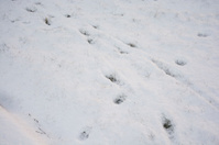Deer Tracks In Fresh Snow Winter